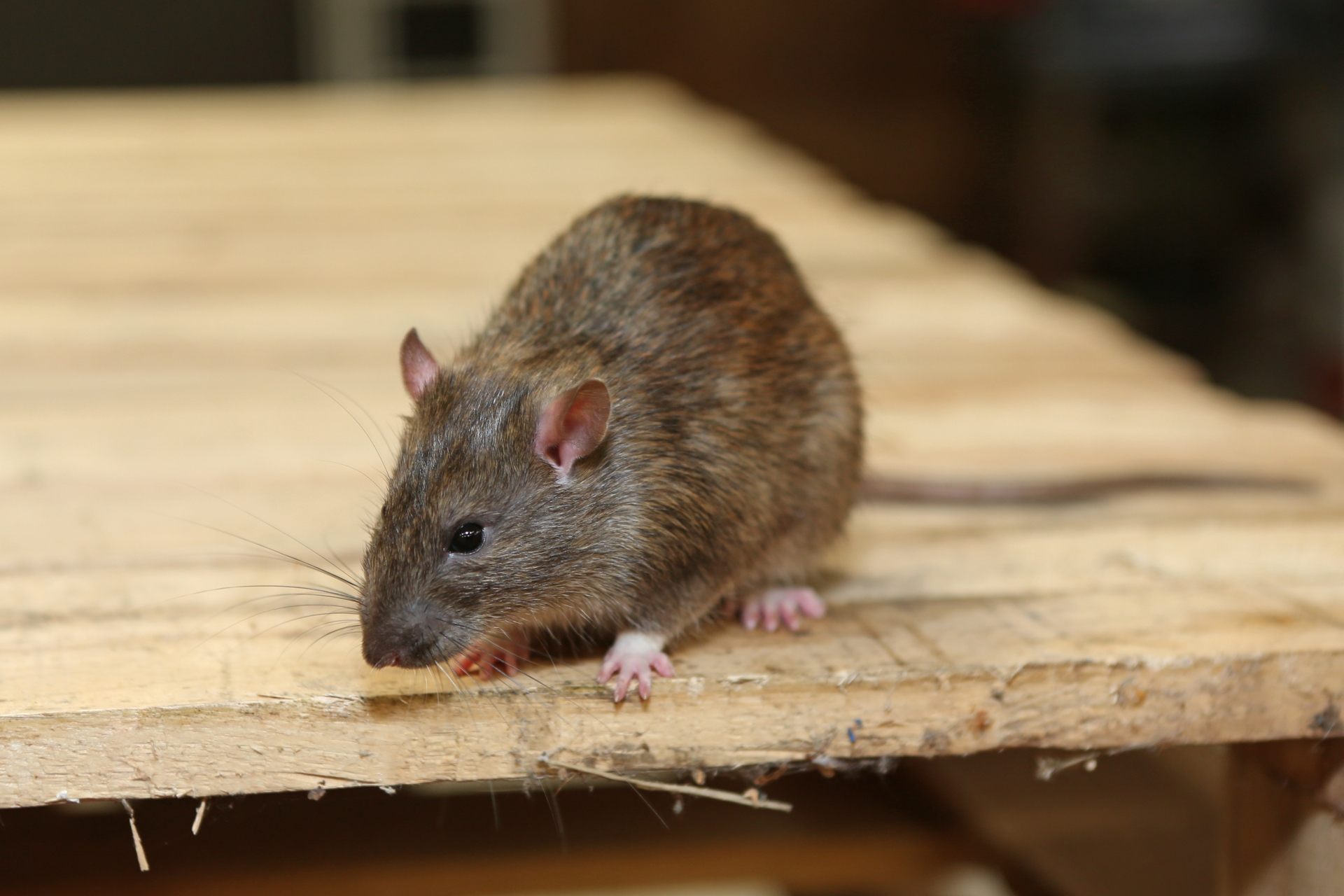 Rat Infestation, Pest Control in Purfleet, RM19. Call Now 020 8166 9746