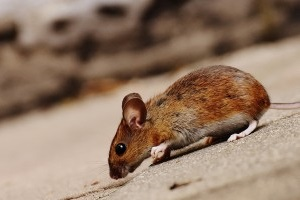 Mouse extermination, Pest Control in Purfleet, RM19. Call Now 020 8166 9746