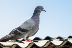 Pigeon Pest, Pest Control in Purfleet, RM19. Call Now 020 8166 9746